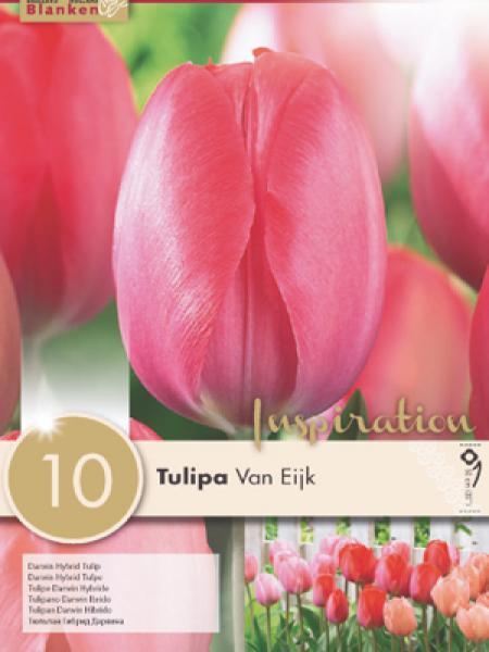 Tulipe de Darwin 'Van Eijk'