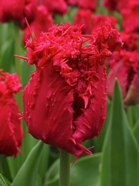 Tulipe dentelles 'Barbados'