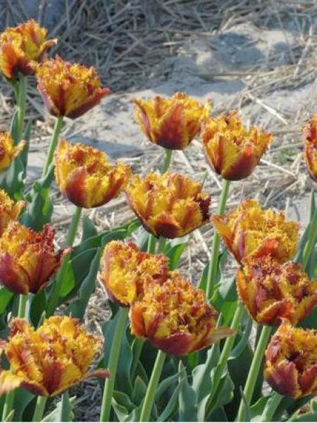 Tulipe dentelles 'Bastia'