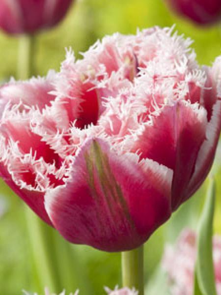 Tulipe dentelles 'Brest'