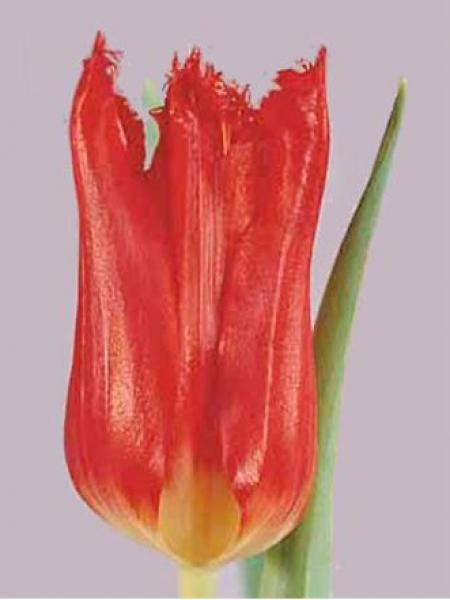 Tulipe dentelles 'Calibra'