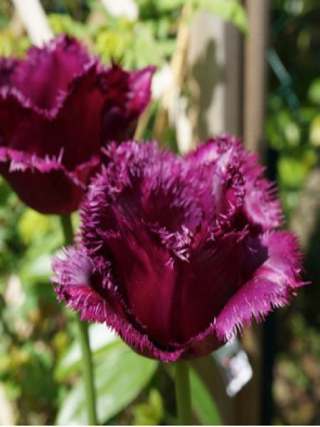 Tulipe dentelles 'Cuban Night'