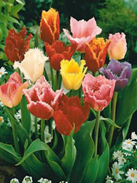 Tulipe dentelles en mélange