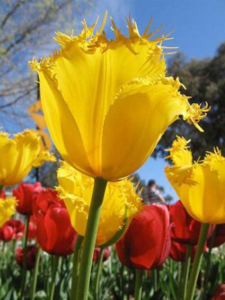 Tulipe dentelles 'Hamilton'