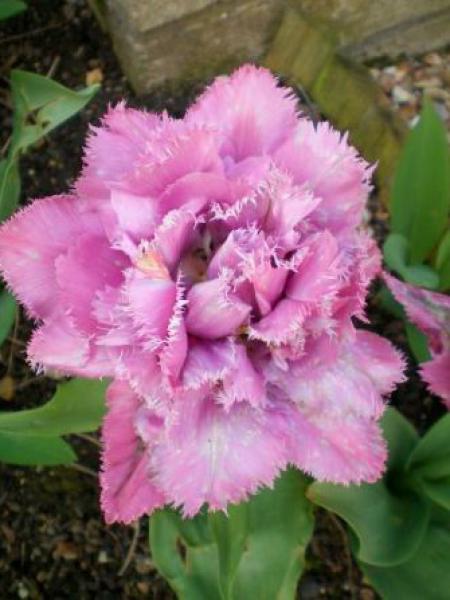 Tulipe dentelles 'Matchpoint'