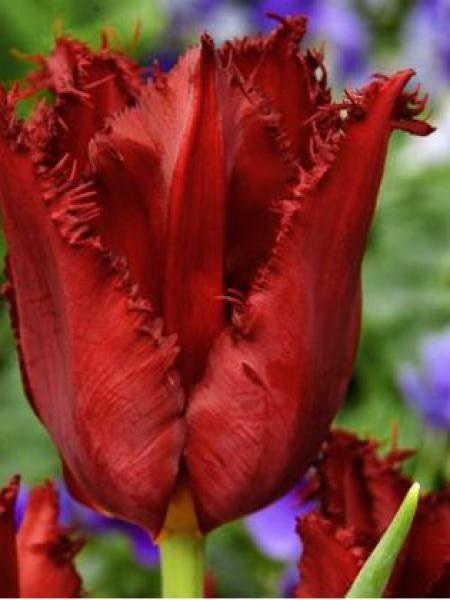 Tulipe dentelles 'Pacific Pearl'