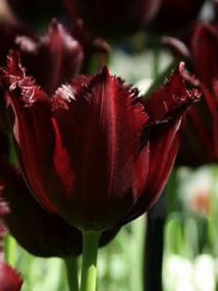 Tulipe dentelles 'Vincent Van Gogh'