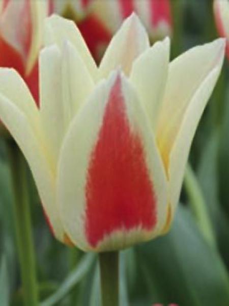 Tulipe 'Diablo'