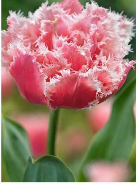 Tulipe 'Double Crispa Queensland'