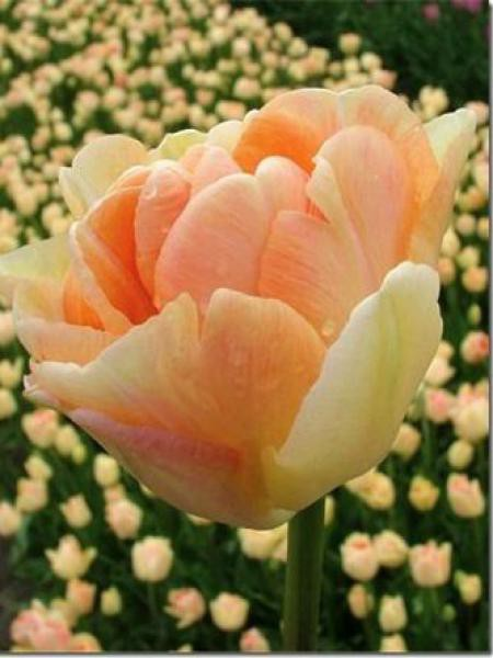 Tulipe double hative 'Charming Beauty'