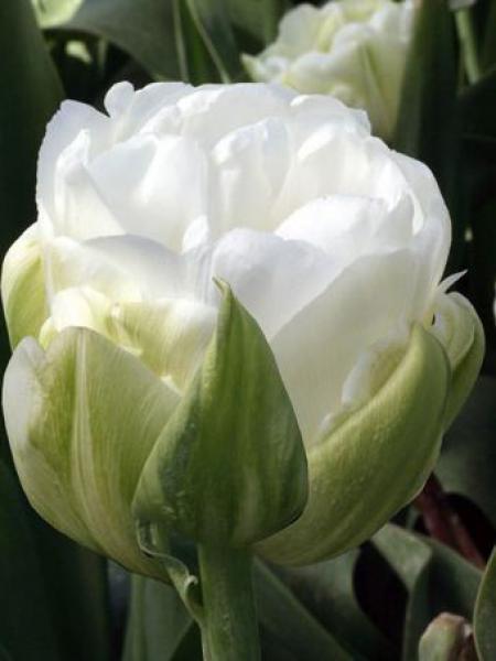 Tulipe double hative 'Maureen double'