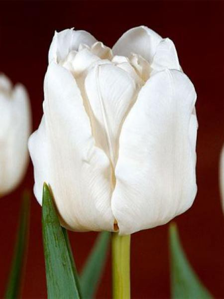 Tulipe double hative 'Mondial'®