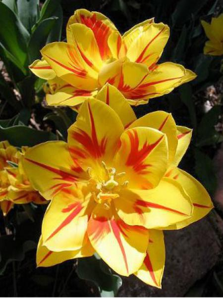 Tulipe double hative 'Monsella'