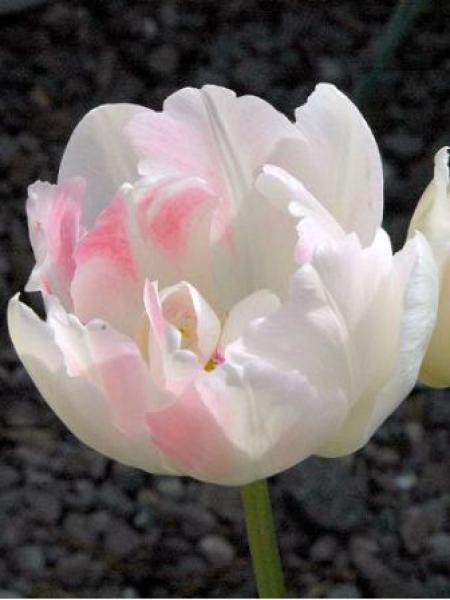 Tulipe double tardive 'Angelique'