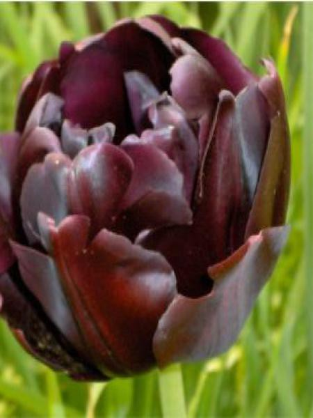 Tulipe double tardive 'Black Hero'®