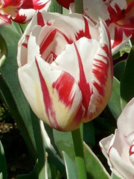 Tulipe double tardive 'Carnaval de Nice'