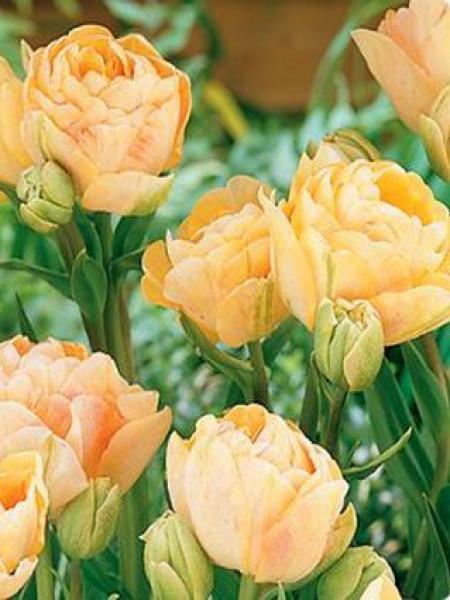 Tulipe double tardive 'Charming Lady'