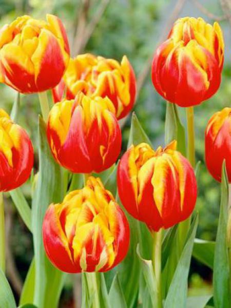 Tulipe double tardive 'Cilesta'