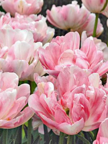 Tulipe double tardive 'Finola'