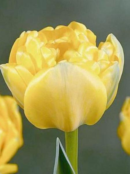 Tulipe double tardive 'Yellow Pomponette'