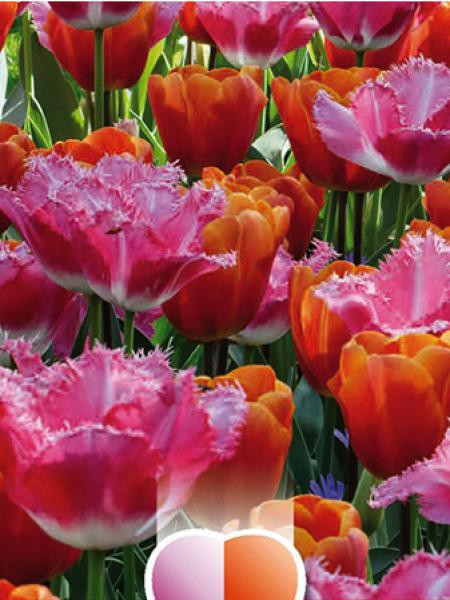 tulipe en m lange rose dentelle et orange tulipa le jardin du pic vert. Black Bedroom Furniture Sets. Home Design Ideas