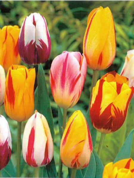 Tulipe en m lange 39 type rembrandt 39 tulipa le jardin du for Livraison tulipes