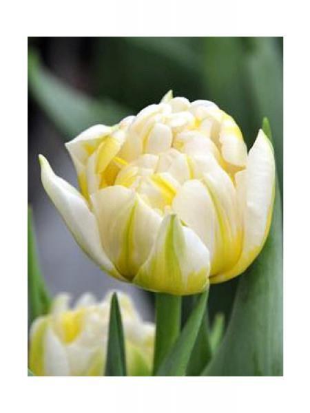 Tulipe 'Flaming Evita'