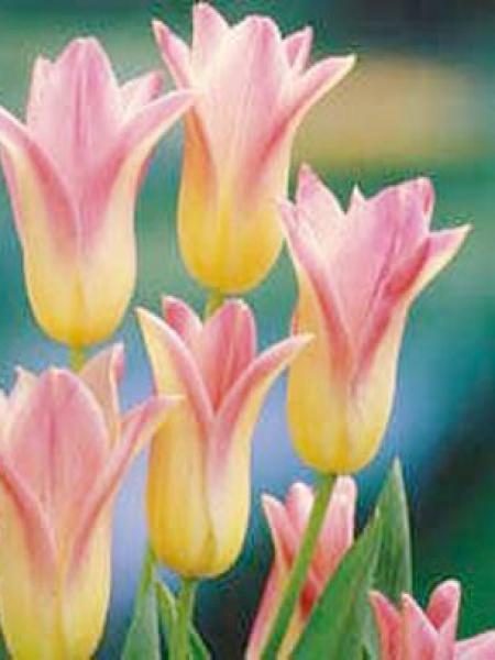 Tulipe fleur de lis 'Elegant Lady'