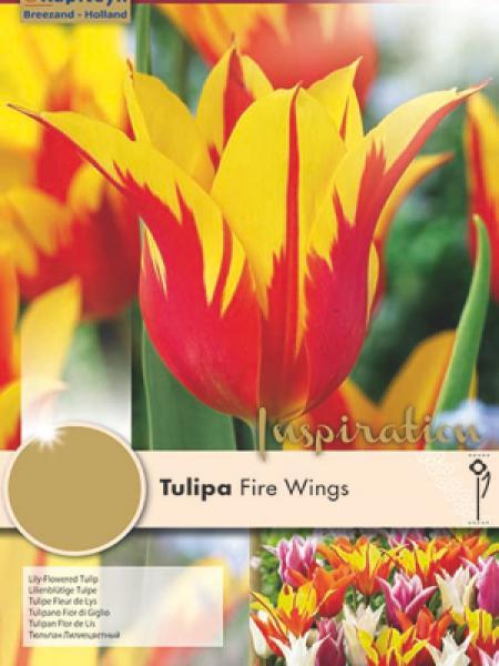 Tulipe fleur de lis 'Fire Wings'