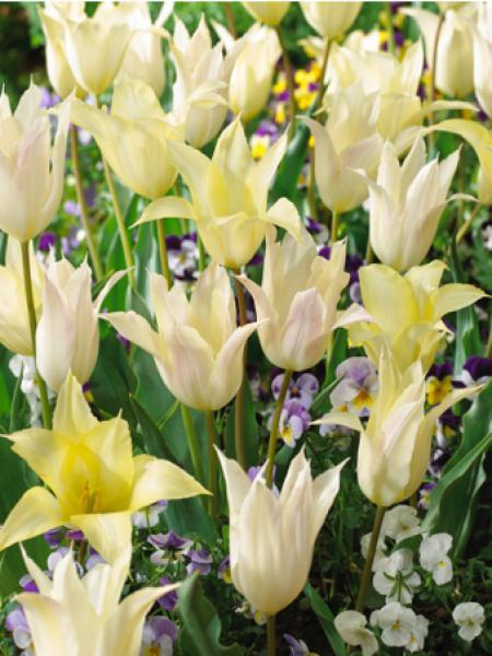 Tulipe fleur de lis 'Johan Cruijff'