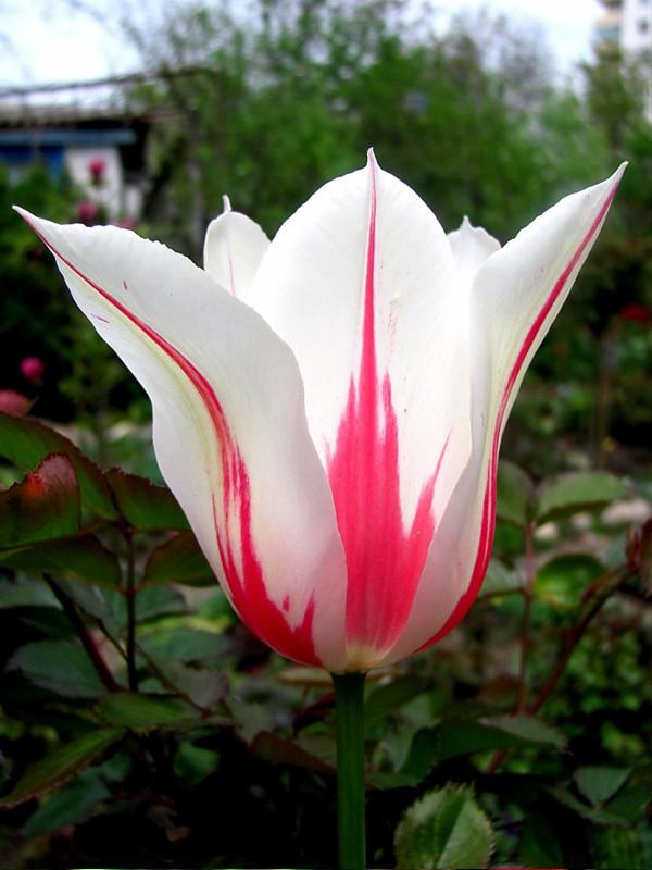 Tulipe fleur de lis 'Marilyn'