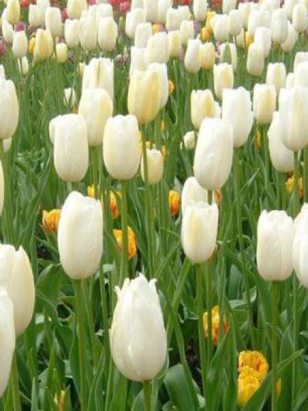 Tulipe fosteriana 'Purissima'