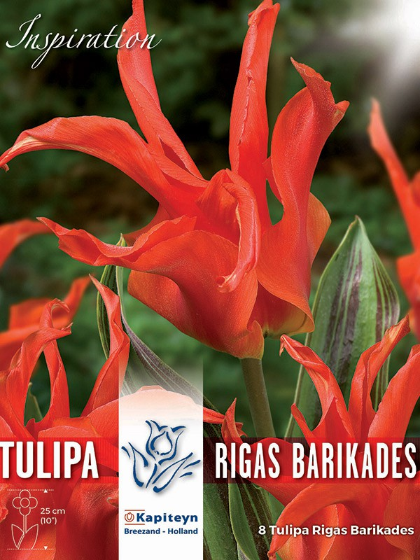 Tulipe fosteriana 'Rigas Barikades'