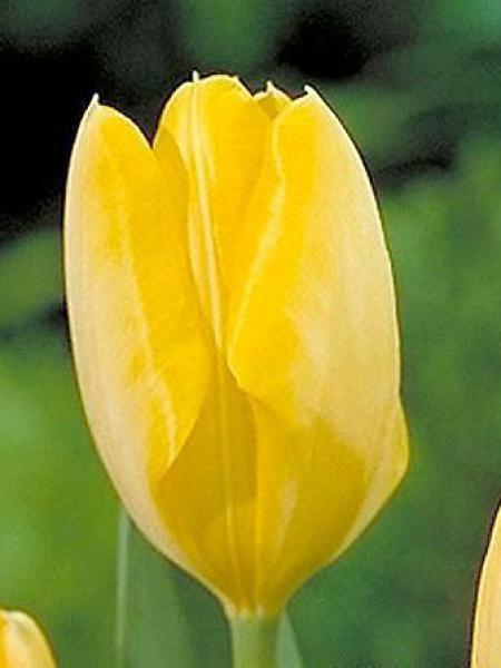 Tulipe fosteriana 'Yellow Purissima'