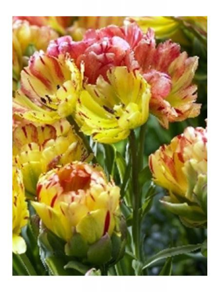 Tulipe 'Fruit Cocktail'