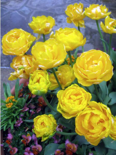 Tulipe 'Gold Fever'