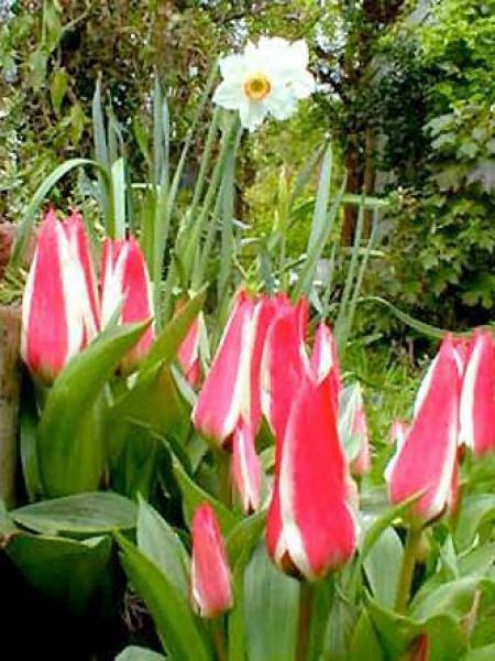 Tulipe greigii 'Pinocchio'®