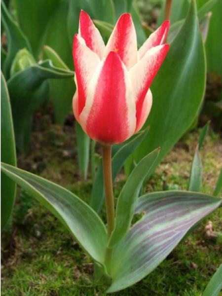Tulipe greigii 'Pinocchio'
