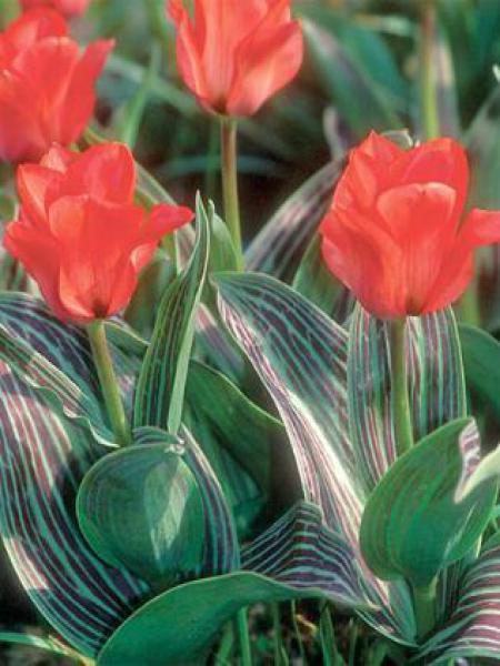 Tulipe greigii 'Red Riding Hood'