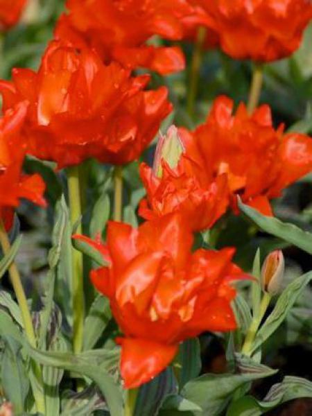 Tulipe greigii 'Roodkapje'