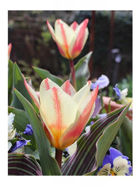 Tulipe greigii 'St George'