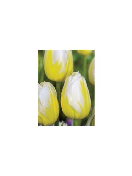Tulipe 'Happy People'