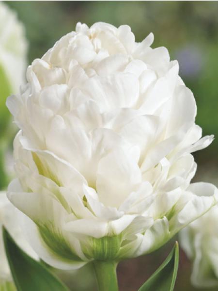 Tulipe 'Harborlight'
