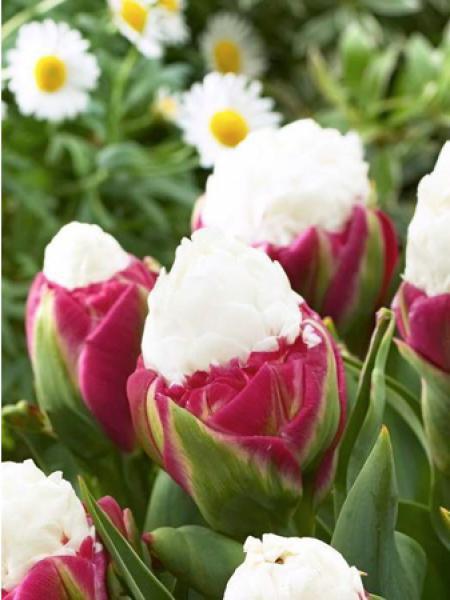 Tulipe 'Ice cream'