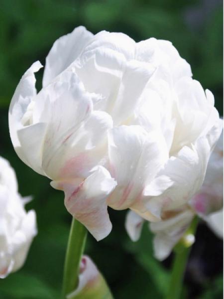 Tulipe 'Ice wonder'