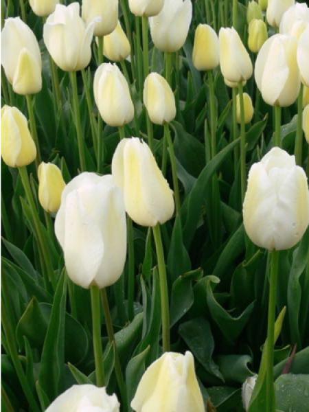 Tulipe 'Jumbo - City of Vancouver'