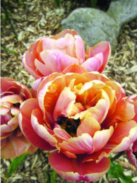Tulipe 'La Belle Epoque'
