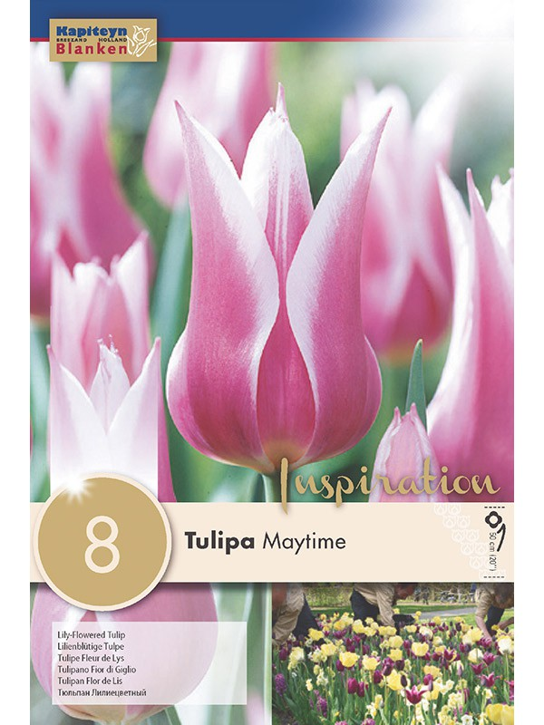 Tulipe 'Maytime'