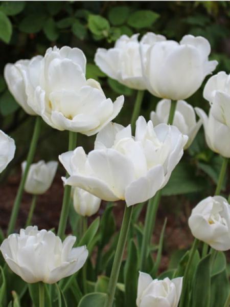Tulipe 'Mount Tacoma'