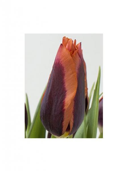 Tulipe 'Muvota'